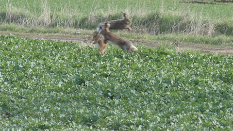 Slow motion of a spectacular jump of three brown hares Footage