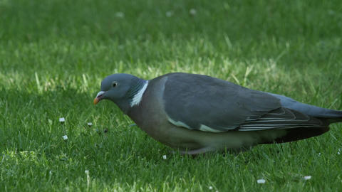 Close up of a Common wood pigeon feeding on grass Footage