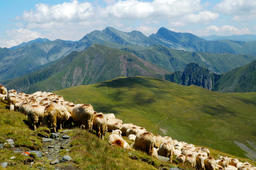 Flock of sheep in the Carpathian mountains. Fagaras mountains, R Fotografía