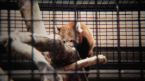 1972: Red panda behind bars at the zoo climbs up dead tree Footage