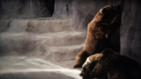 1972: Grizzly bear drinking from zoo water fountain jet hose Footage