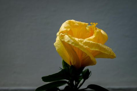 Yellow Hibiscus with white background Photo