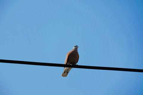 Dove on the cable Photo