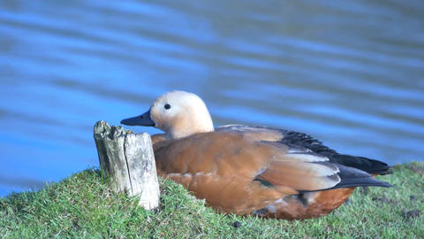 beauty of nature . brown large ruddy shelduck near blue water smooth zoom Footage