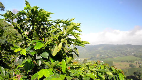 Coffee Plant and Landscape Footage