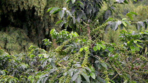 Coffee Plant Covered in Fruit Footage