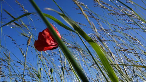 Slow motion of a single poppy waving in the wind Footage