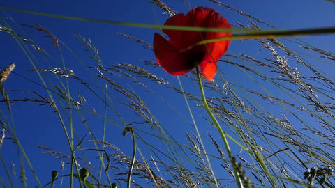 Slow motion of a single poppy blossom waving in the wind Footage