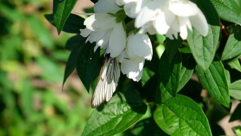 Black Veined White butterfly on Jasmine Footage