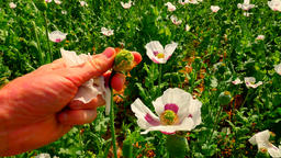 Hand tears off the petals of the white poppy. Fingers yank of white parts of blo Footage