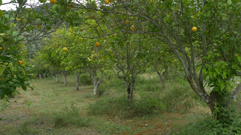 Orange Trees in Orchard Footage