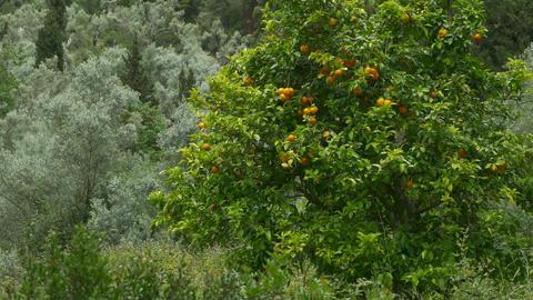 Orange Tree in Nature Footage