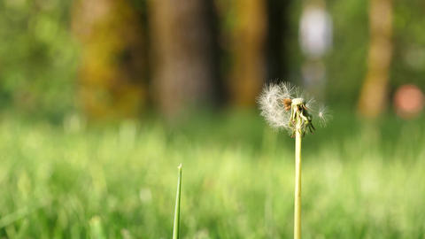 Motion of dandelion on blur green grass background with 4k resolution Footage