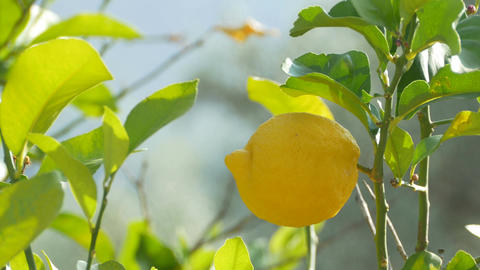 Lemon Fruit on Tree Footage