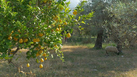 Lemons on Rural Orchard Footage