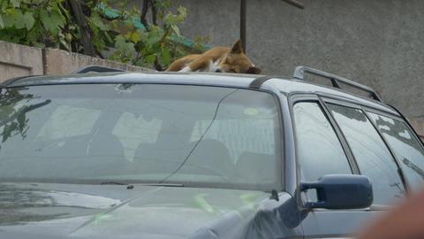 Dog Sleeping on a Car Footage