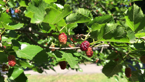 Mulberry tyutin, berry tree in the garden Image