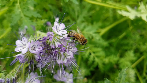 Bee flies near the flowers. Slow motion Footage