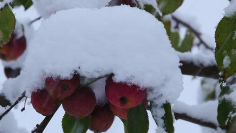 Apples and green leaves under a thick layer of snow Footage