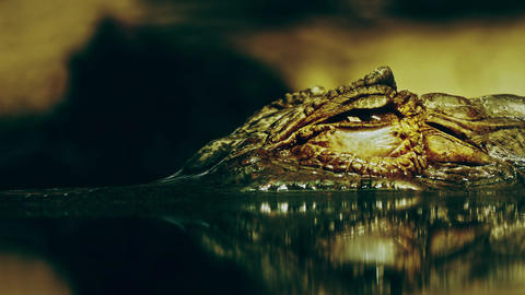 1080p Closed Eye of Crocodile Cayman (Caiman Crocodilus), Looking Out Footage