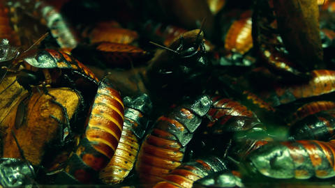 4K Swarming of Madagascar Hissing Cockroaches Footage