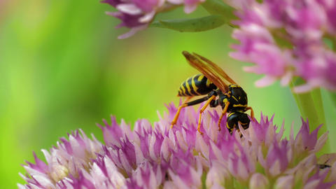 4K Wasp Scared While Collecting Pollen on Sedum Flower Late Summer Day Footage