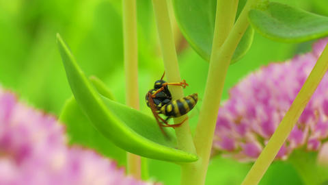1080p Clumsy Aimless Wasp Tries to Climb Grass Stalk, but Fails, Changes Footage