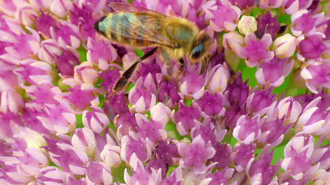 1080p Wasp Collects Pollen on Sedum Flower Late Summer Day Footage