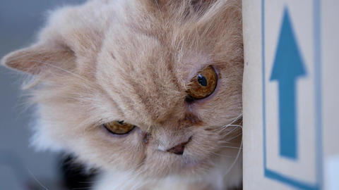 Close up persian cat smelling box with funny face Live Action