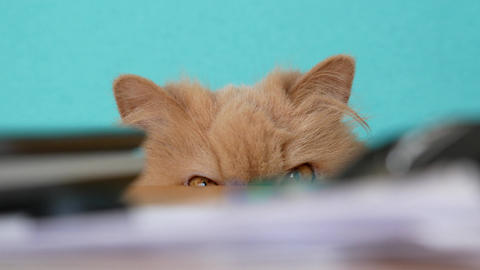 Close up persian cat head staring at people behind the desk with 4k resolution Footage