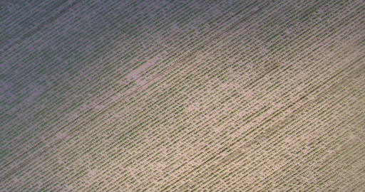 Drone flight over over rows of corn or maize Image