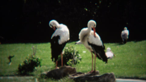 1972: White crane bird grooming feathers in outdoor park Footage