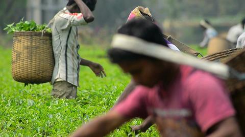Indian Tea Garden