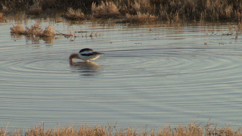 American Avocet Live Action