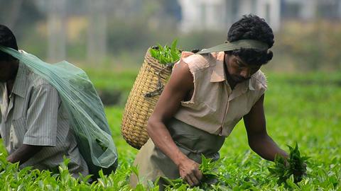 Indian Tea Garden 1