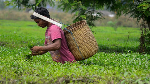 Indian Tea Garden 2