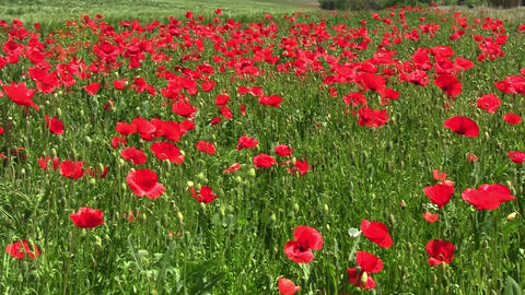 Field poppy, red flower that grows on roadsides frail and especially along grain Footage