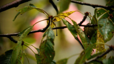 Cherry branch with leaves yellowed and damaged by a disease of cherry in the rai Footage