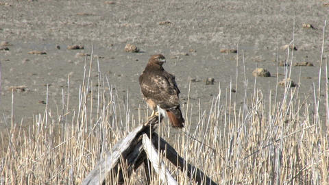 Red tail hawk Footage