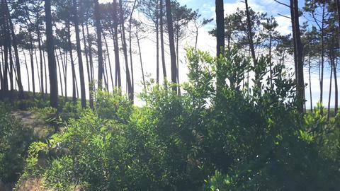 Sun shining through pine trees Footage