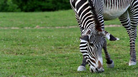 Grevy's zebra (lat. Equus grevyi) Footage