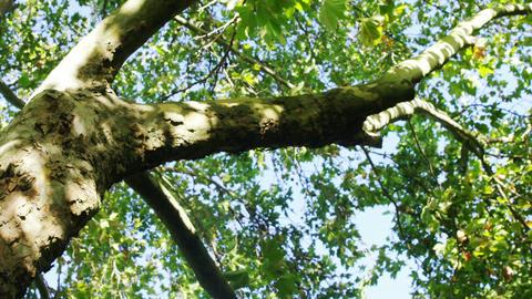 Upward view of huge tree in garden Footage