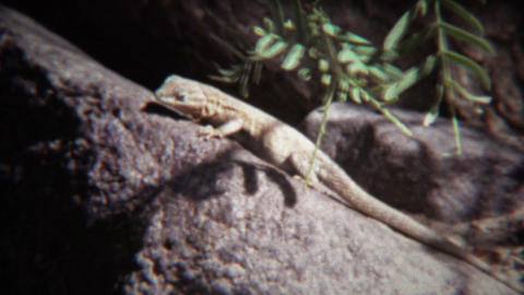 1972: Lizard closeup on hot summer rock basks in sunshine Footage
