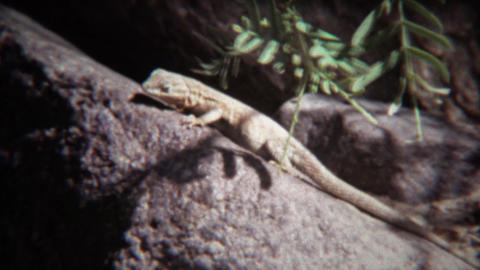 1972: Lizard closeup on hot summer rock basks in sunshine Footage