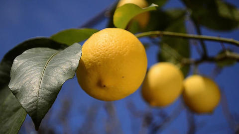 Lemon branch with many ripe fruits on it Footage