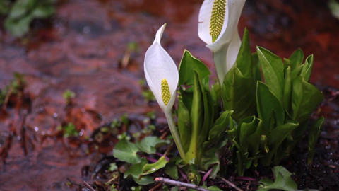 Japanese skunk cabbage, Lysichiton camtschatcense Footage