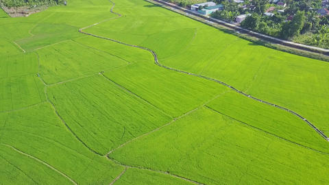 Panoramic View Immense Rice Fields under Sunlight Footage