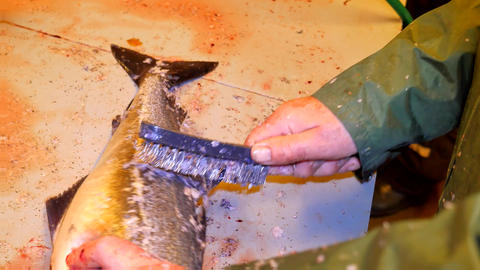 Cod, the codfish. Quick removal of scales with a wire brush on a filing table. V Filmmaterial