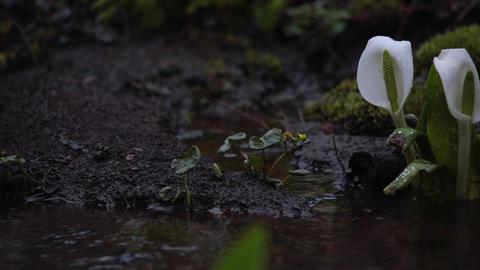 Japanese skunk cabbage, Lysichiton camtschatcense Live Action