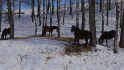 Horse herd in a snowy birch forest Footage
